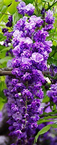 BLACK DRAGON WISTERIA - DOUBLE FLOWERING FRAGRANT VINE 2 - YEAR PLANT Japanese Maples and Evergreens http://smile.amazon.com/dp/B005UJM3EC/ref=cm_sw_r_pi_dp_4hVnvb05GR70R