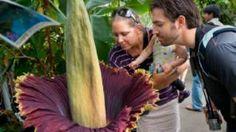 #EDICOLAFIORE New York, dopo 77 anni fiorisce il rarissimo «fiore cadavere»