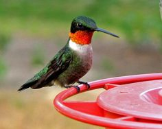 Ruby Throated Hummingbird    I watched the banning of these little birds and also feeder in my yard.  Prime time as many as 100 hummers are feeding during migration.