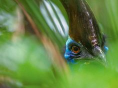 A Cassowary Peaks Out of the Foliage... photo by Christian Ziegler
