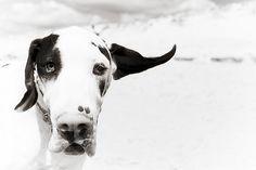 Harlequin #great #dane #puppy