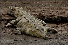Crocodile   Flickr - Photo Sharing!