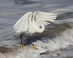 Wave Jumping Snowy Egret Bird Art Print Photograph by susieloucks, $30.00