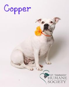 Copper and her sister Stripes are looking for their fur-ever home. They were rescued by a good Samaritan who found them in a bad situation and came to us to find a new family to love. They were adopted out together and recently returned because they were not welcomed by their mom's new landlord. Help us find these beautiful two girls a new home! Stripes and Copper love children but not other animals, so they need to find a home where they are the only pets.