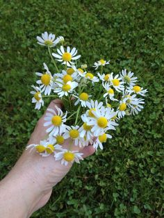 Just picked chamomile ready to dry for winter tea. Pick in morning once dew has evaporated. #gardenchat #halifax pic.twitter.com/Soom0emd82