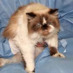 Maye is an adoptable Himalayan Cat in Chester Springs, PA. Maye is a gorgeous Himalayan cat. This kitty has an eye catching blend of white, tan and brown fur. What catches your attention most is her b...