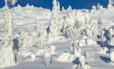 https://flic.kr/p/Ed29kR   Snowleopard   www.mrssantasite.com/  A little Photoshopping was needed to move the cat on the fell of Isosyote, Finland.   I must be honest, that the photos are mine, but the photoshopping is a family member´s since I have forgotten how to do t. I have learned photoshopping earlier...I will learn it for sure!  My cat (!) tells about our holiday at the fells in the blog Rundgren´s Cat. ritvarundgren.blogspot.fi