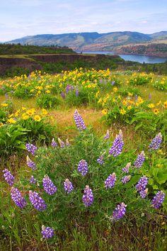 wildflowers .. Rowena Plateau ~ Northern Oregon