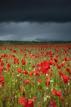 An Abundance Of Poppies In A Field Under A Stormy Sky (Blue); Northumberland, England Poster Print x