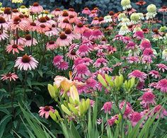 Abundant flowers attract butterflies to a wide range of landscape settings. Beautiful in perennial, wildflower, cutting or mixed gardens and attractive planted with monarda, daisies, phlox, liatris or ornamental grass. Will tolerate periods of drought.