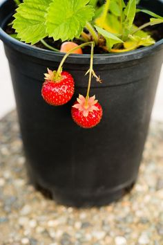 You can grow sweet strawberries all year long in your indoor garden, just make sure the plant gets plenty of sunlight and is drained well.  #food #ideas #healthy #inspiration #cleaneating