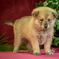 ADOPTED - Hi, my name is Bosco. I'm a fun loving male Pomsky puppy. I am full of life and energy. I can run with the best of them. I will run right up to nap time. I do well with people of all ages. Pomsky Breeders, Pomsky Puppies For Sale, Puppy Breeds, Fun Loving, Friends Forever, Adoption, People, Animals, Life