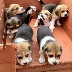 Cute Beagles, Cute Puppies, Cute Dogs, Dogs And Puppies, Baby Beagle, Beagle Puppy, Cute Baby Animals, Animals And Pets, Funny Animals