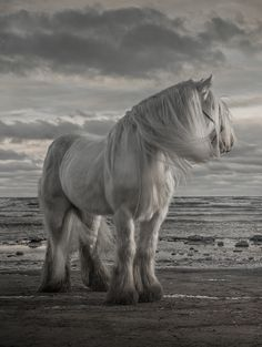 Beautiful white horse with his mane blowing in the wind and the edge of the beach. What a beautiful horse pic.