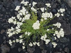 Achillea millefolium on Mount Etna. Achillea Millefolium, Plants, Flowers, Flora, Plant, Planting