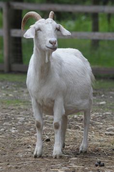 Our goats on the Living Farm Open Air, Goats, Gardens, Animals, Animales, Animaux, Garden, Goat, Garden Types
