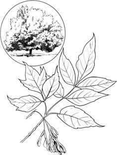 Box Elder or Boxelder Maple or Maple Ash Coloring page