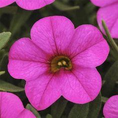 70 Calibrachoa KABLOOM DEEP PINK Live Plants Plugs DIY Planters S10