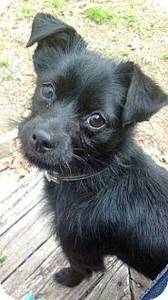 Schnauzer mix dogs for adoption