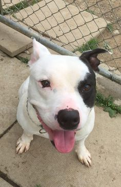 Meet Kennel # 15, a Petfinder adoptable Pit Bull Terrier Dog | Elyria, OH | Kennel # 15 available for adoption 6/19