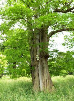 Robinia tree at Hatfield House