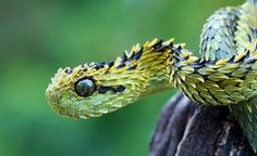 So very pretty, so very deadly.  A Bush Viper!  Maybe there is something to be learned here??