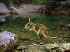 East african spring hare (Pederster sudaster)
