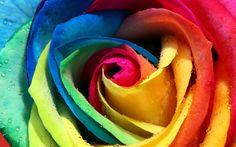 #ColorfulBloomingRose