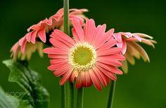 Pink Gerber Daisy -
