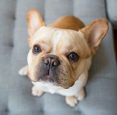 French Bulldog, love those eyes
