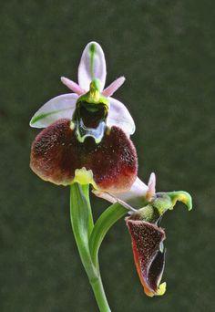 Ophrys_fuciflora_chestermanii