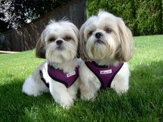 Nikki the Shih Tzu & Casey the Lhasa Apso/Shih Tzu Mix