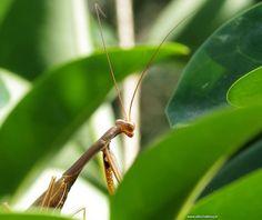 Altijd leuk een bidsprinkhaan. eigenlijk grappige naam want ze zijn geen familie van de sprinkhanen.