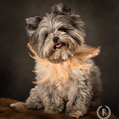 Gam Gams sweet boy  #babykevin #kevin #maltipomsofinstagram #maltipom #jameyreed Add Image, Sweet, Dogs, Animals, Candy, Animales, Animaux, Pet Dogs, Doggies