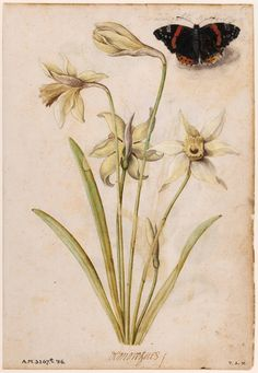 Flowers Drawings Inspiration : Daffodils and a Red Admiral Butterfly Le Moyne de Morgues Jacques 1533 1588 Botanical Flowers, Botanical Prints, Illustrator, Sibylla Merian, Plant Painting, Plant Illustration, Science Illustration, Renaissance, Botanical Drawings