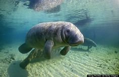Hang with some manatees in Crystal River. If you're looking to swim or snorkel with manatees, the only place in Florida to legally do so is Crystal River. Added bonus? It's not Sea World.