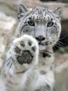 Nature Animals, Animals And Pets, Baby Animals, Funny Animals, Cute Animals, Wild Animals, Beautiful Cats, Animals Beautiful, Gato Grande