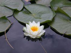 Flor de Loto...  El Camino es perfecto como el  vasto espacio, sin ningún deseo, ni nada superfluo...