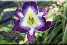 Chinese Scribe, Daylily Bluegrass Daylily Gardens