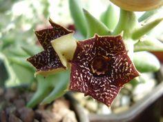 Orbea carnosa ssp. Keithii