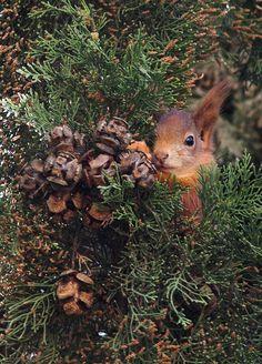 Red Squirrel Sciurus vulgaris, Frankfurt-Nordend, Achim on flickr
