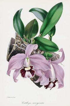 Joseph Paxton Magazine Botany Orchid Prints 1834 Vegetable Illustration, Plant Illustration, Vintage Botanical Prints, Botanical Drawings, Botanical Flowers, Botanical Art, Orchid Drawing, Orchid Images, Vintage Flowers