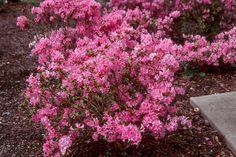rhododendron 'Hardijzer Beauty'