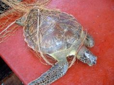 Incidental capture in fishing gear, aka 'bycatch', is likely the greatest threat to #seaturtles and many other species worldwide. Roughly 40% of all animals caught in fisheries are discarded as trash. Marine mammals, sea turtles, seabirds, and other species are caught and discarded, usually dead. Learn more here: http://www.seeturtles.org/1129/fisheries-bycatch.html