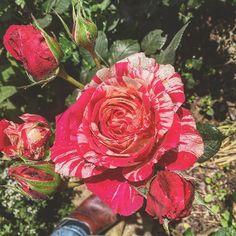 My beauty opened up! #rosesofinstagram #slowflowers #countryretreat #flowersofilrigo