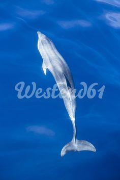 Spain, Andalusia, Bottlenose Dolphin, Tursiops truncatus