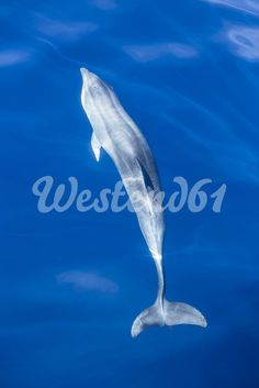 Spain, Andalusia, Bottlenose Dolphin, Tursiops truncatus