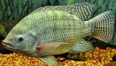 cara pembesaran ikan nila di kolam beton,pembesaran ikan nila di kolam terpal,cara budidaya ikan nila di kolam terpal,cara budidaya ikan nila merah,makanan dan cara budidaya ikan nila merah,