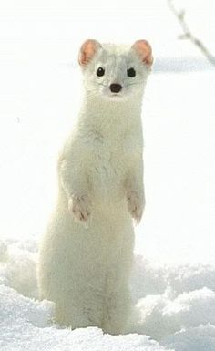 white mongoose in the snow