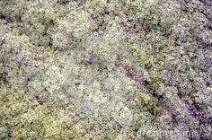 Las flores delicadas de alyssum dulce emiten una fragancia similar a la miel que es potente, pero no empalagosa. El rico néctar en las flores atrae a legiones de insectos beneficiosos para el jardín, por lo que es una de las favoritas de los jardineros orgánicos.